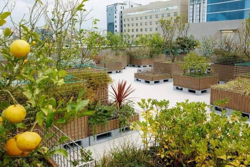 В саду на крыше выращивают лимоны и другие растения.
